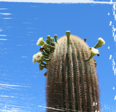 Close up shot of cactus sprouting new life.